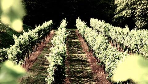 Campo solare estivo presso l'agriturismo Il Belvedere - Il vigneto: una tradizione per il gusto